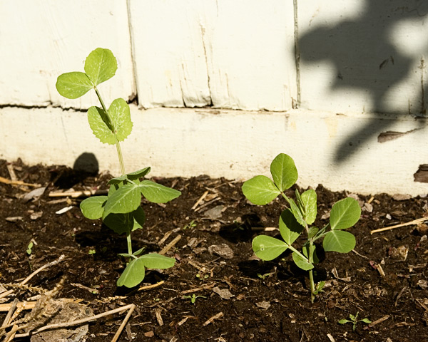 Pea seedlings